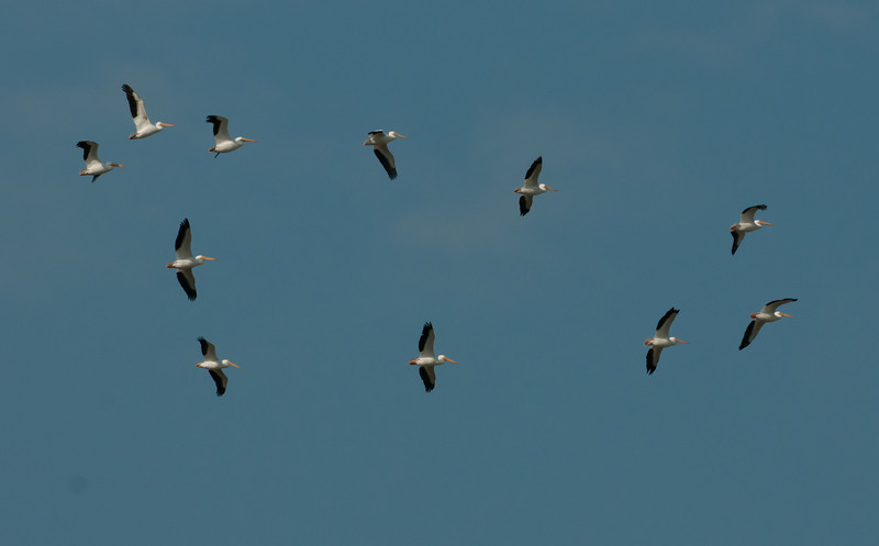 • American White Pelican <br /> • A flock heading east towards the ocean