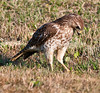 • Immature  Red-shouldered Hawk<br /> • Scoping out on something to eat