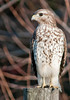 • Immature Red-shouldered Hawk