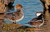 • Female and Male Hooded Merganser<br /> • Follow me