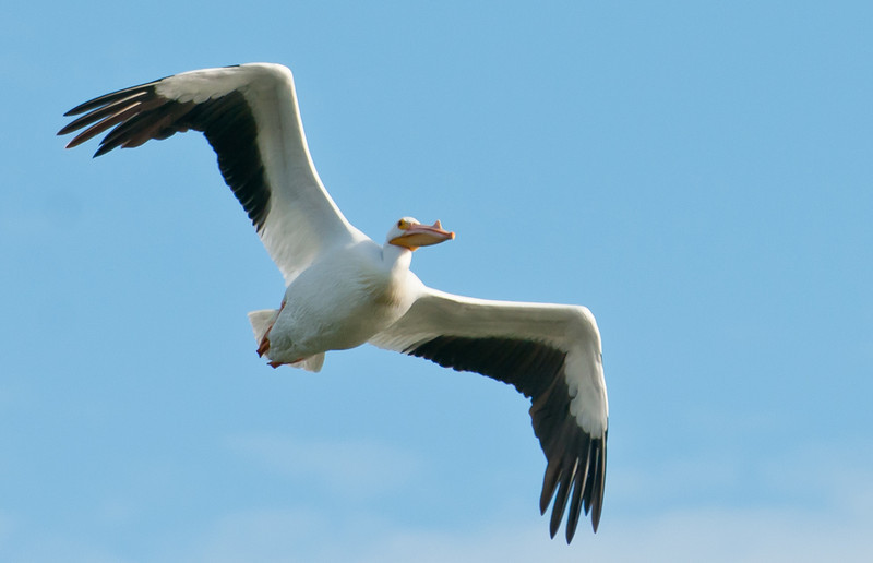 • American White Pelican <br /> • In flight photos