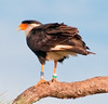 Crested Caracara on the pine tree as you exit the Wetlands