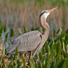 Great Blue Heron just posing