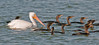 • American White Pelican and Double-Crested Cormorants<br /> • Follow us! We'll get you back to your friends.