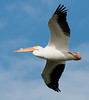• American White Pelican <br /> • Notice the breeding bump on their beak