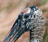 Close-up a Wood Stork.  Only its mother could love that ugly head