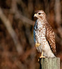 • Immature  Red-shouldered Hawk<br /> • Let's shake on it because I think this a great photo