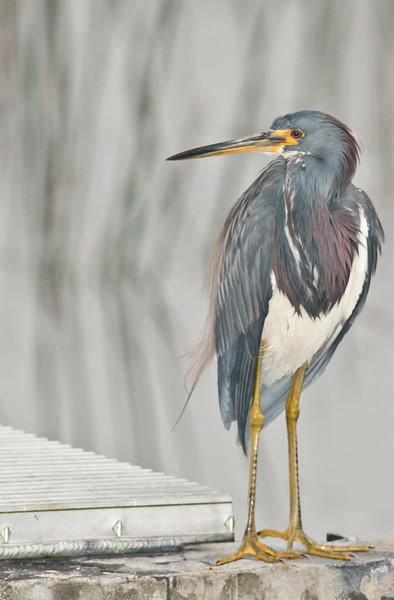 • Viera Wetlands<br /> • Tri-colored Heron