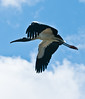 • Dan's Click ponds<br /> • Wood Stork in flight
