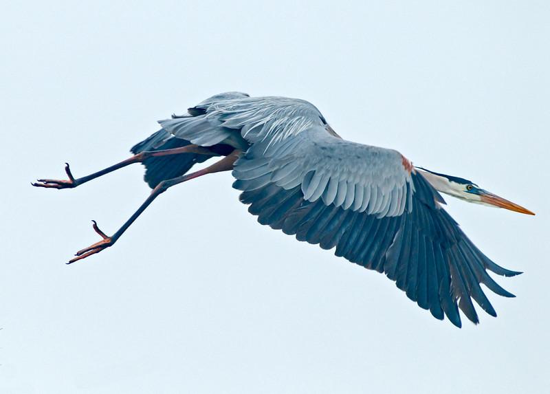 • Viera Wetlands<br /> • Great Blue Heron in flight
