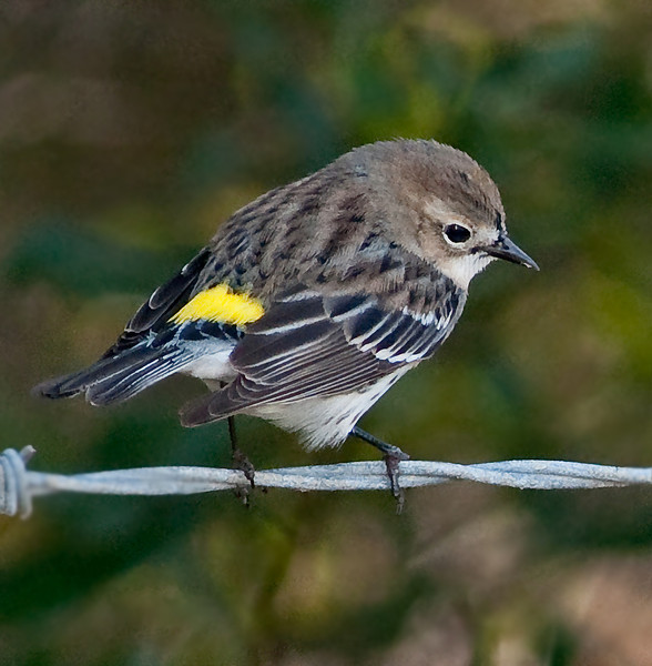 • Viera Wetlands<br /> • Yellow-rumped Warbler