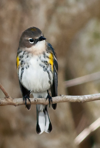 • Viera Wetlands<br /> • Yellow-rumped Warbler