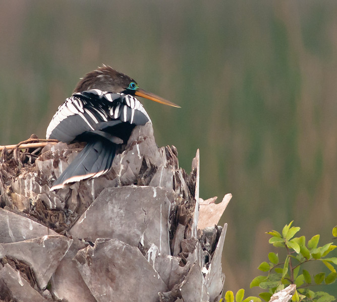 • Viera Wetlands<br /> • An Anhinga sitting on its eggs
