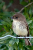 • Viera Wetlands<br /> • Eastern Phoebe