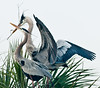 • Viera Wetlands<br /> • Great Blue Heron bringing in nesting material
