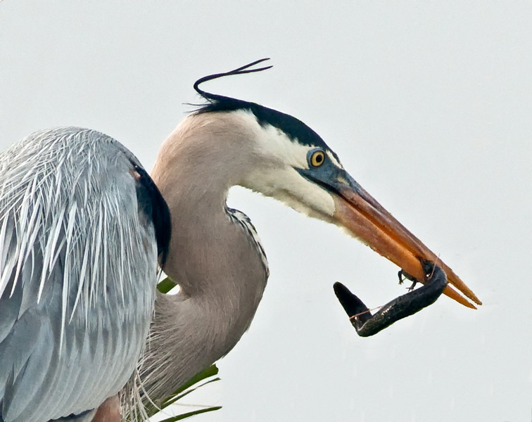 • Viera Wetlands<br /> • Great Blue Heron eating a salamander