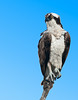 • Viera Wetlands<br /> • Osprey looking for something to eat