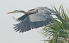 • Viera Wetlands<br /> • Great Blue Heron taking off