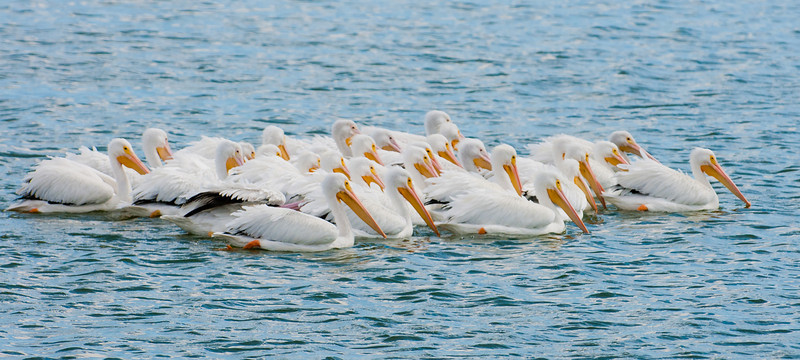 • Dan's Click ponds<br /> • Flock of White Pelicans swimming in the Click Pond