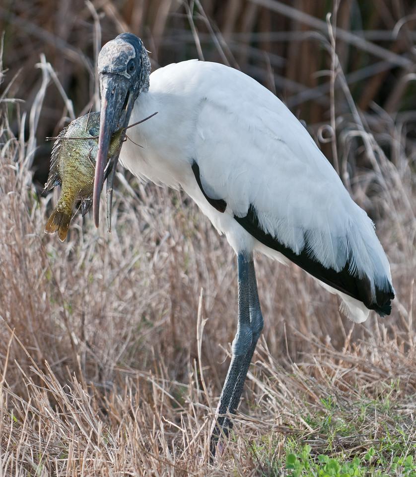Wood Stork Eating A Fish