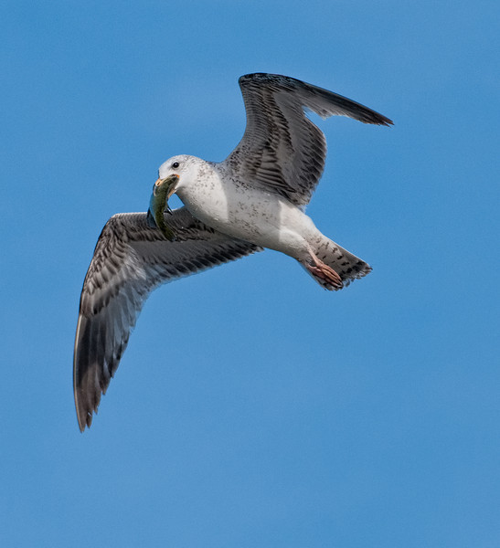 Great Black-backed Gull in flight carrying a fish