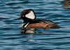 • Viera Wetlands Workshop with Joanne Williams<br /> • Male Hooded Merganser