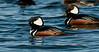 • Viera Wetlands Workshop with Joanne Williams<br /> • A couple of Male Hooded Merganser on the move