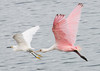 • This photo was taken with a Nikon D300S, a 70-200mm f2.8 lens, and a 1.4X Teleconverter<br /> • Roseate Spoonbill in flight with a Snowy Egret