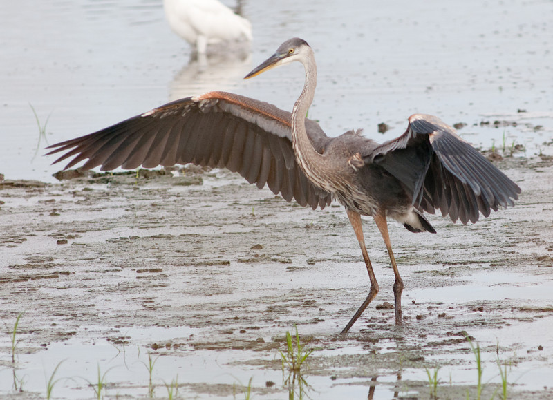 • This photo were taken with a Nikon D300 and Nikon manual focus 500mm lens<br /> • Great Blue Heron coming in for a landing