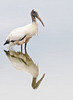 • This photo were taken with a Nikon D300 and Nikon manual focus 500mm lens<br /> • Not a bad reflection of the Wood Stork