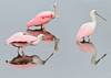 • This photo were taken with a Nikon D300 and Nikon manual focus 500mm lens<br /> • Its a Roseate Spoonbill threesome