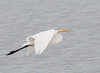• This photo were taken with a Nikon D300 and Nikon manual focus 500mm lens<br /> • Great Egret just taking off