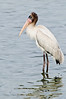 • This photo were taken with a Nikon D300 and Nikon manual focus 500mm lens<br /> • I'm just a juvenile Wood Stork