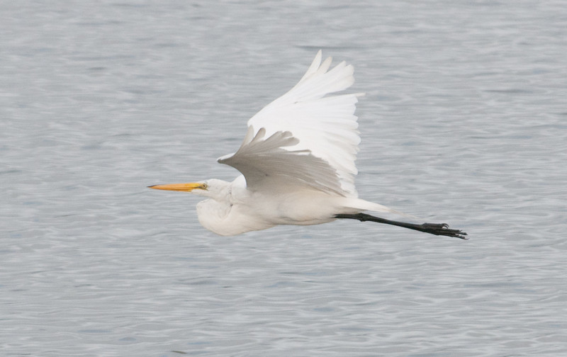 • This photo was taken with a Nikon D300S, a 70-200mm f2.8 lens, and a 1.4X Teleconverter<br /> • Great Egret in flight