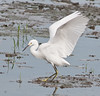 • This photo were taken with a Nikon D300 and Nikon manual focus 500mm lens<br /> • A Snowy Egret showing its feathers off