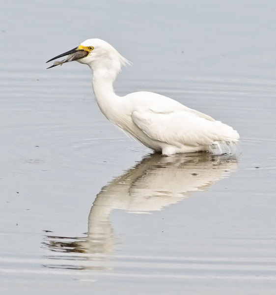 • This photo were taken with a Nikon D300 and Nikon manual focus 500mm lens<br /> •  That's a big fish to get down this Snowy Egret's throat
