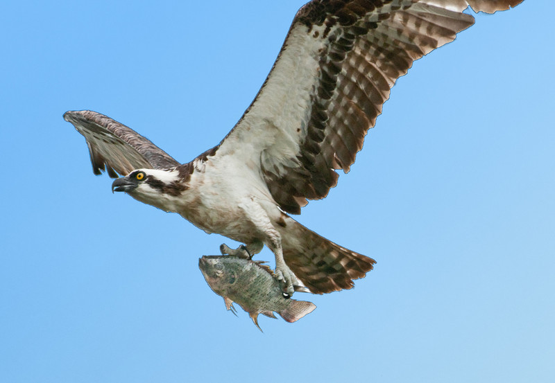 • This photo was taken with a Nikon D300S, a 70-200mm f2.8 lens, and a 1.4X Teleconverter<br /> • Yep, that Osprey caught a big fish