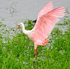 • This photo was taken with a Nikon D300S, a 70-200mm f2.8 lens, and a 1.4X Teleconverter<br /> • Roseate Spoonbill coming for a landing
