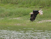 • This photo were taken with a Nikon D300 and Nikon manual focus 500mm lens<br /> • Just documenting a Bald Eagle I saw trying to capture some food from the pond