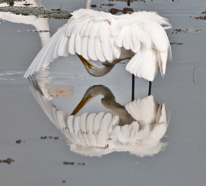 • This photo were taken with a Nikon D300 and Nikon manual focus 500mm lens<br /> • This Great Egret is doing a little pruning