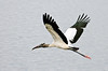 • This photo was taken with a Nikon D300S, a 70-200mm f2.8 lens, and a 1.4X Teleconverter<br /> • The Wood Stork said, look how far I can stretch my wings