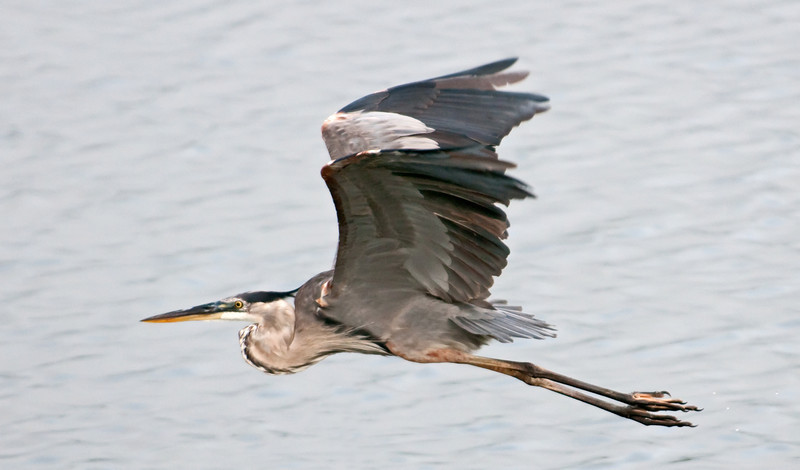 • This photo was taken with a Nikon D300S, a 70-200mm f2.8 lens, and a 1.4X Teleconverter<br /> • Great Blue Heron in flight
