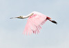 • This photo was taken with a Nikon D300S, a 70-200mm f2.8 lens, and a 1.4X Teleconverter<br /> • Roseate Spoonbill in flight