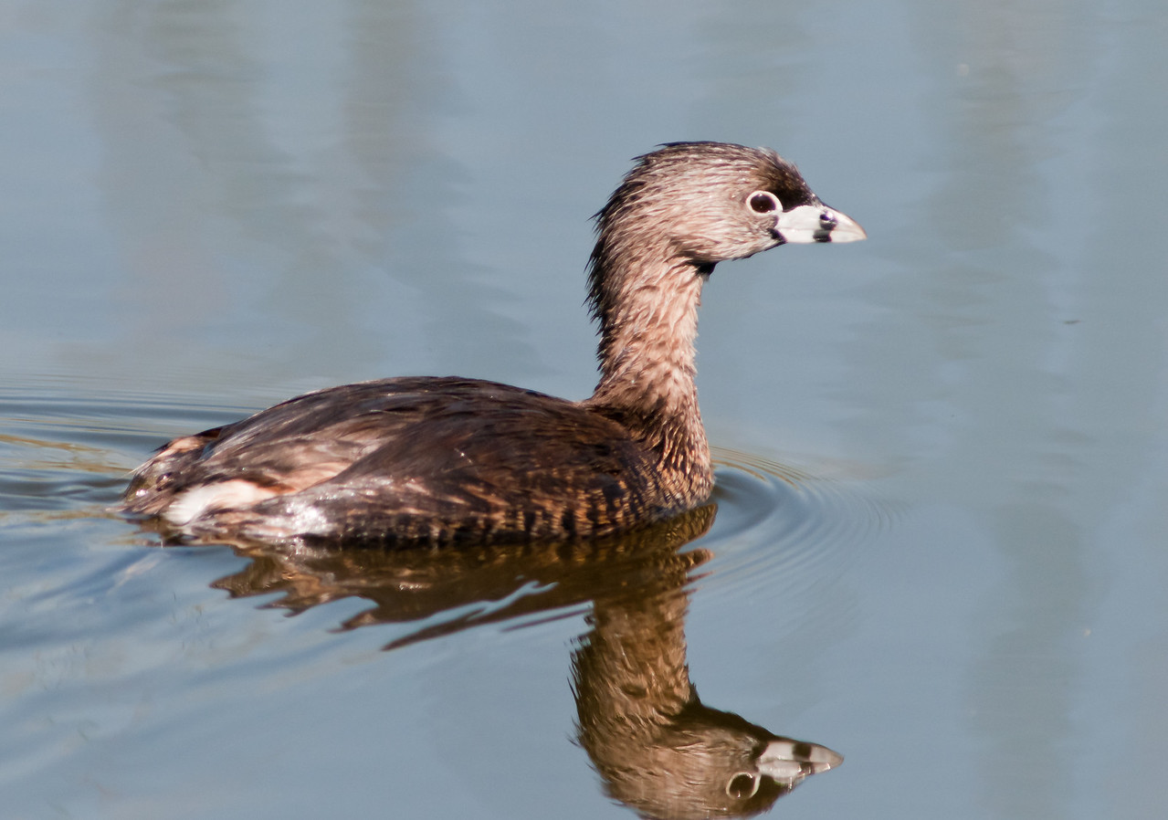 Pied-billed Grebe and its reflection
