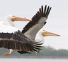 A Pair of American White Pelican with  breeding bump on its beak