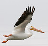 In flight American White Pelican with  breeding bump on its beak