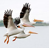 A trio of American White Pelicans in Flight