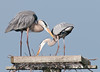 A pair of Great Blue Herons building a new nest on top of a man made stand