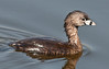 A close-up of a breeding Pied-billed Grebe after resurfacing from looking for some food
