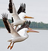 Can you see the 3 beaks of the American White Pelicans?
